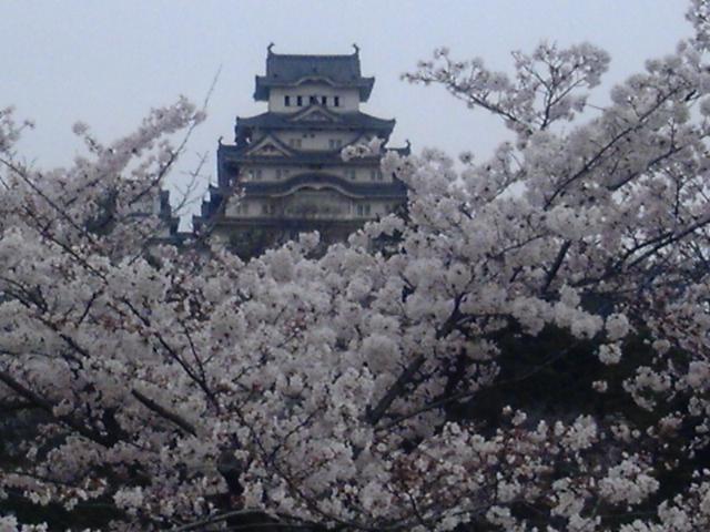 姫路城の桜 (<br />  ・∀・)